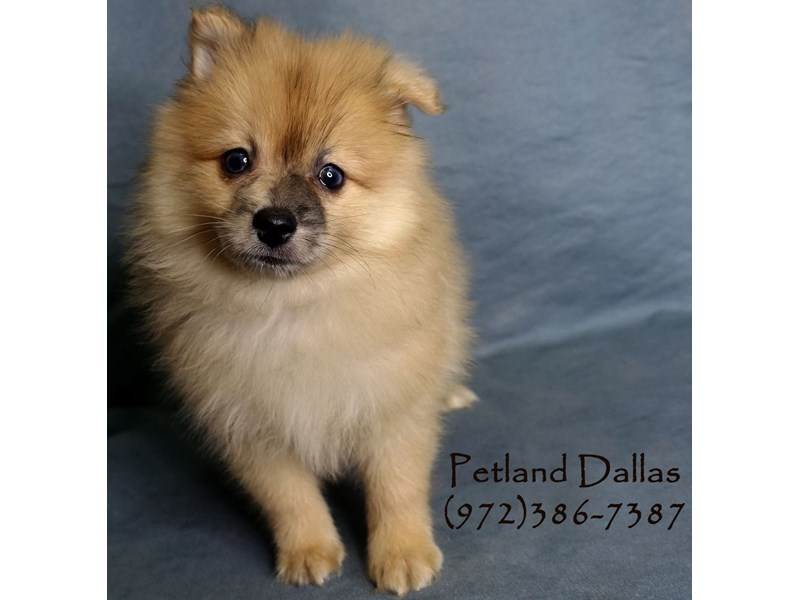 Pomeranian-Male-Sable with merle markings-2952116-Petland Dallas, TX