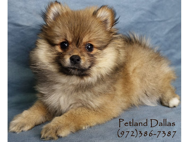 Pomeranian-Female-Sable-2952105-Petland Dallas, TX