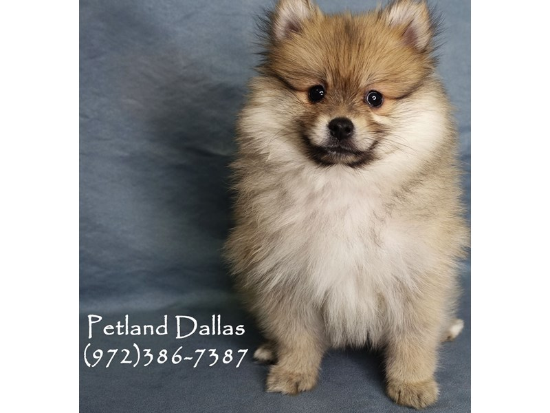 Pomeranian-Male-Sable-2952097-Petland Dallas, TX