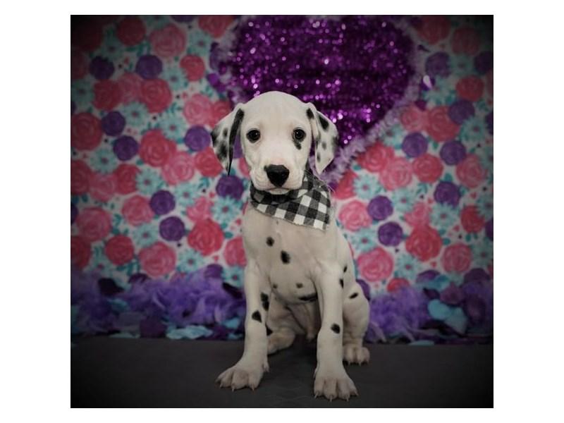 Dalmatian-Male-White / Black-2957207-Petland Dallas, TX