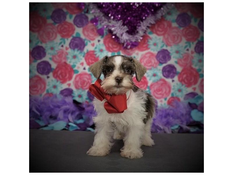 Miniature Schnauzer-DOG-Female-Liver Pepper-2957213-Petland Dallas, TX