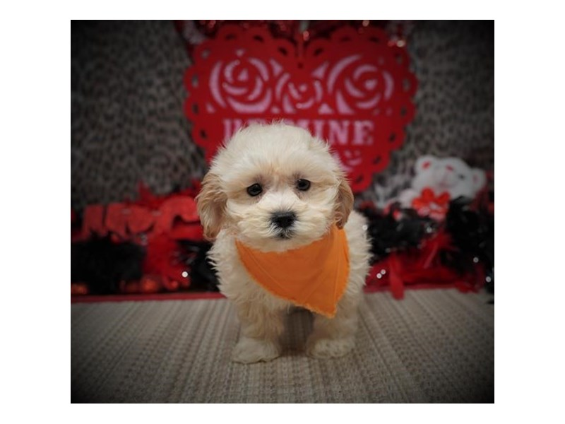 Maltipoo-DOG-Male-Cream-2957214-Petland Dallas, TX