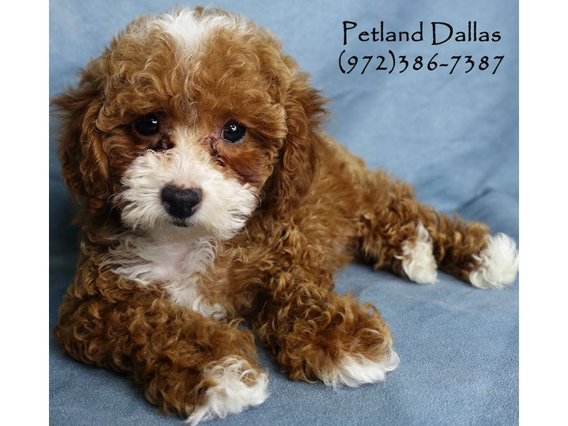 Maltipoo-DOG-Male-Red-2957006-Petland Dallas, TX
