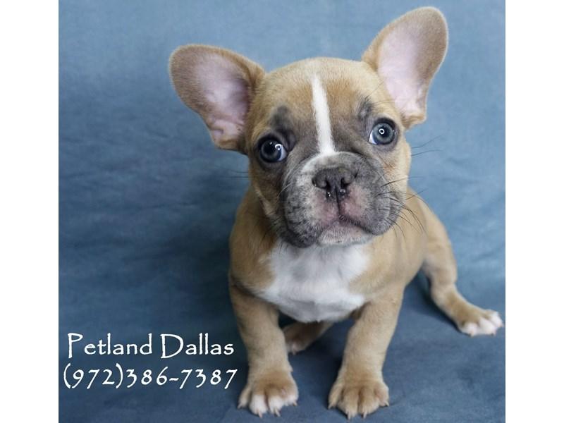 French Bulldog-Male-Blue Fawn-2956867-Petland Dallas, TX