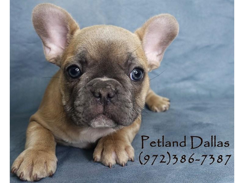 French Bulldog-Male-Blue Fawn-2956859-Petland Dallas, TX