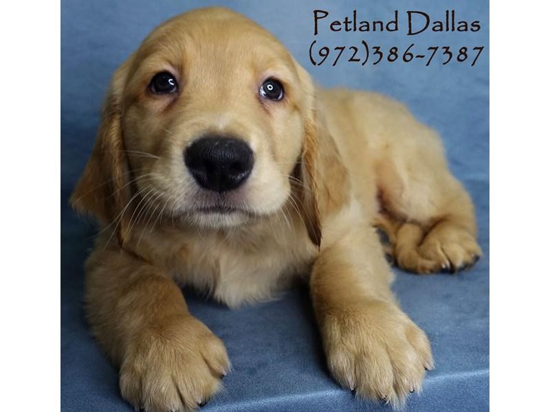 Golden Retriever-Male-Golden-2956422-Petland Dallas, TX