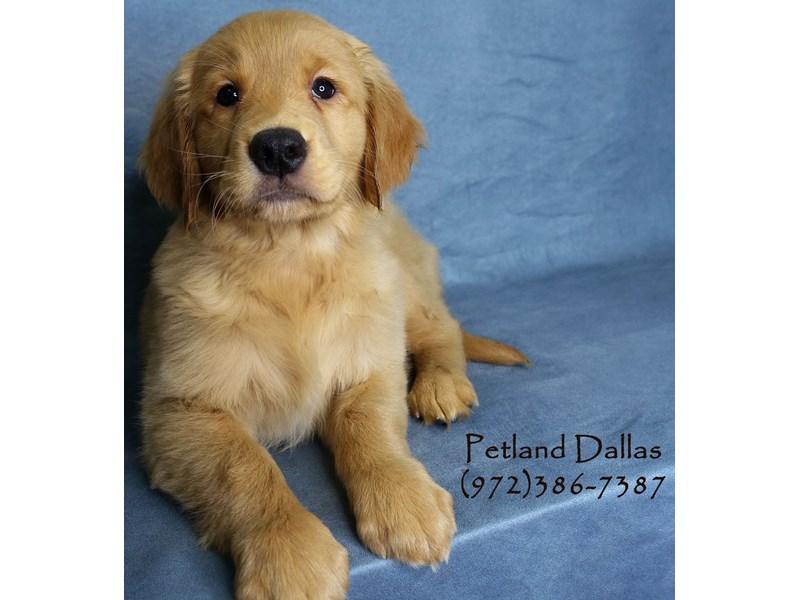 Golden Retriever-Female-Golden-2956421-Petland Dallas, TX