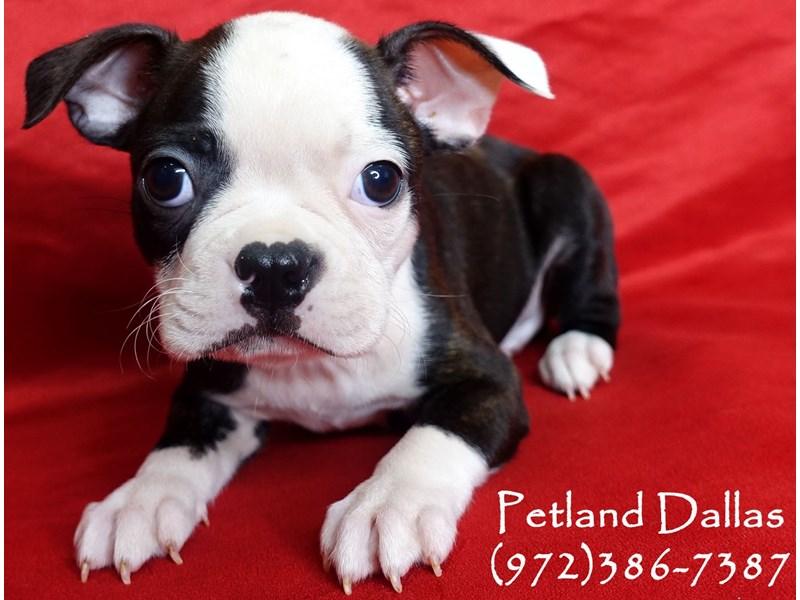 Boston Terrier-Male-Bindle and White-2961344-Petland Dallas, TX