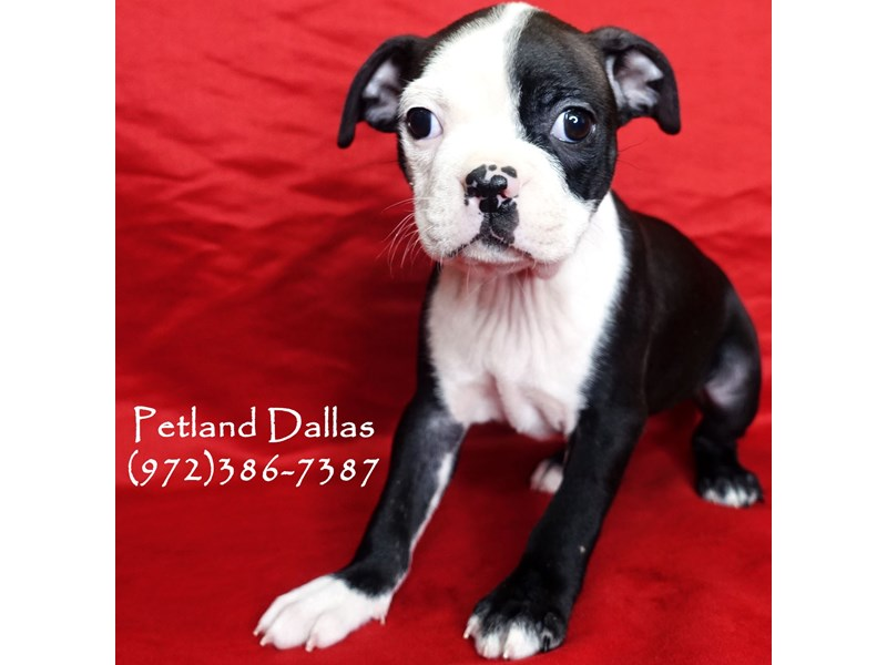 Boston Terrier-Female-Black and White-2961336-Petland Dallas, TX