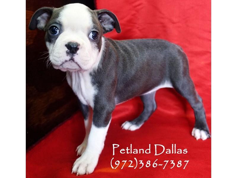 Boston Terrier-Female-Blue and White-2961330-Petland Dallas, TX