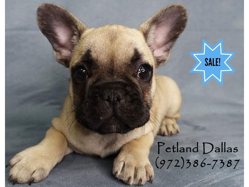 French Bulldog-Female-Fawn W/ Black Mask-2911781-Petland Dallas, TX