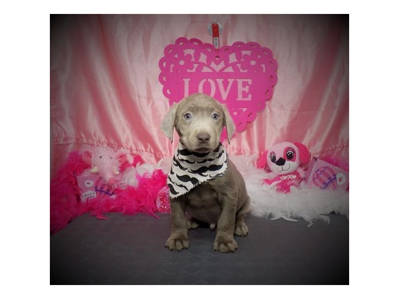 Labrador Retriever-Male-Silver-2963731-Petland Dallas, TX