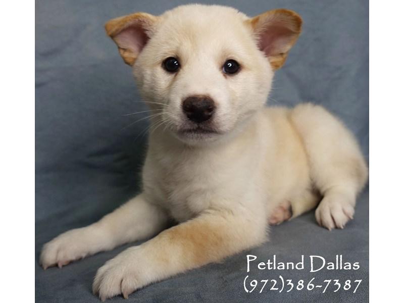 Shiba Inu-Male-Cream-2965411-Petland Dallas, TX