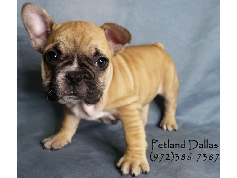French Bulldog-Female-Fawn-2965388-Petland Dallas, TX