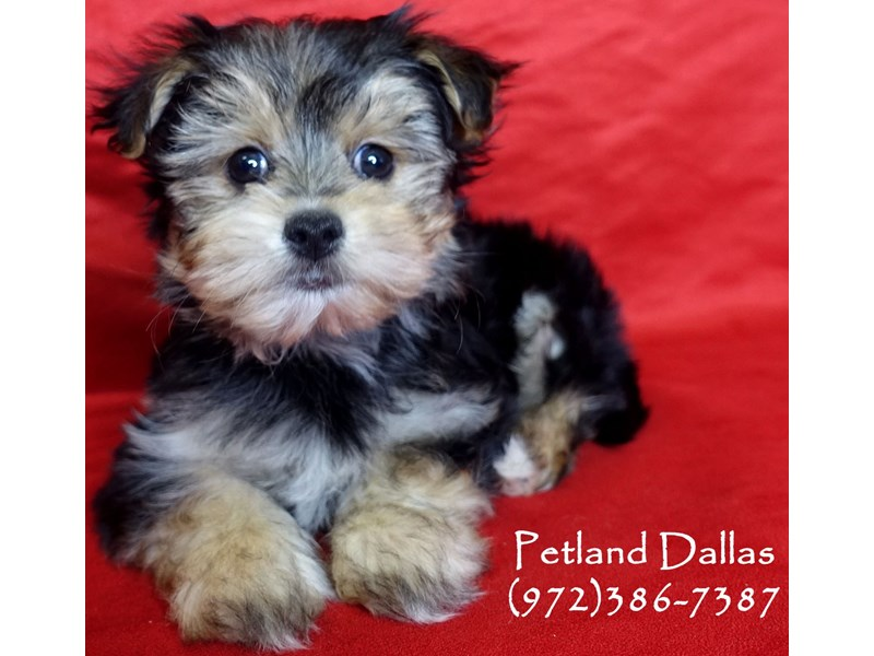 Morkie-Male-Black and Tan-2965296-Petland Dallas, TX