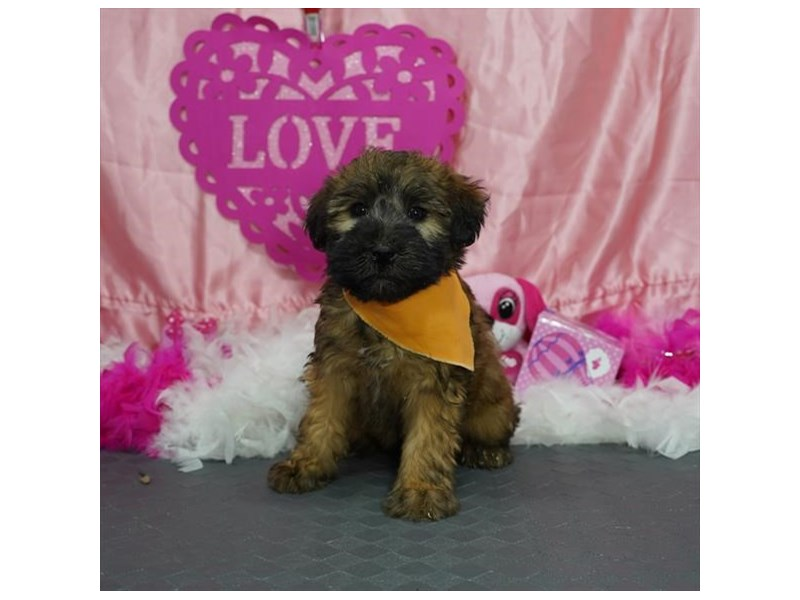 Soft Coated Wheaten Terrier-Male-Wheaten-2971704-Petland Dallas, TX