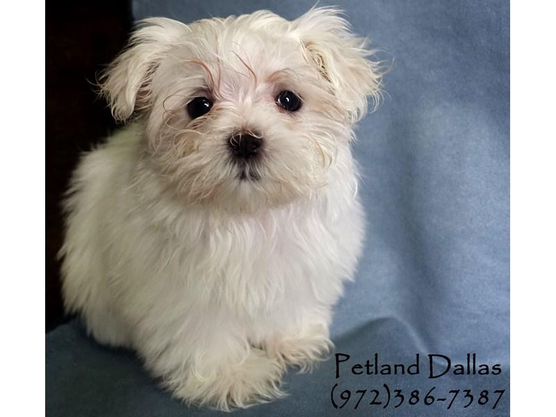 Maltese-Female-White-2956941-Petland Dallas, TX