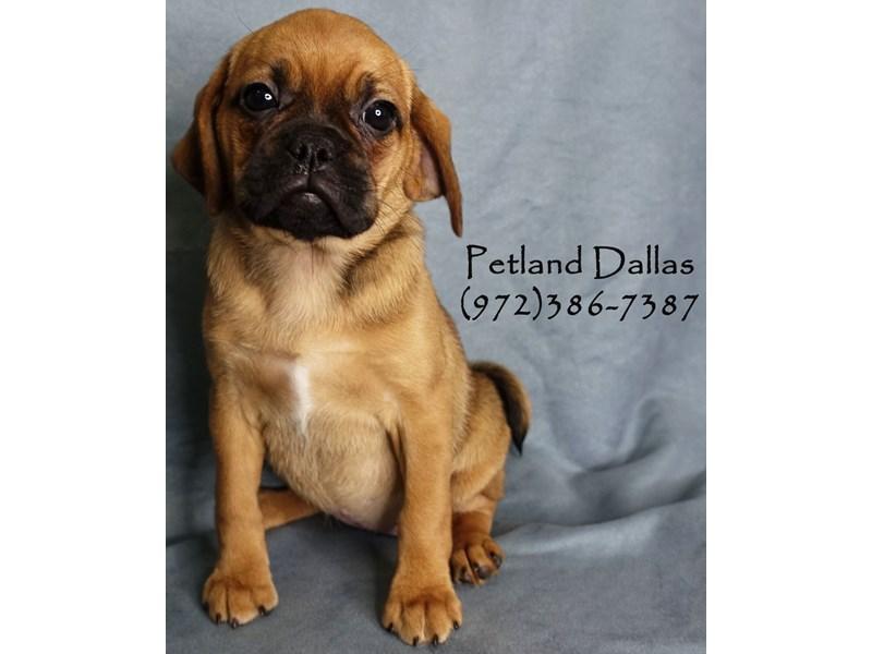 Puggle-DOG-Female-Fawn-2965443-Petland Dallas, TX