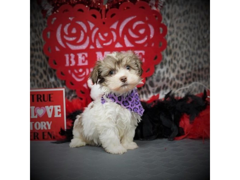 Havanese-Male-Chocolate Sabled Gold-2991002-Petland Dallas, TX