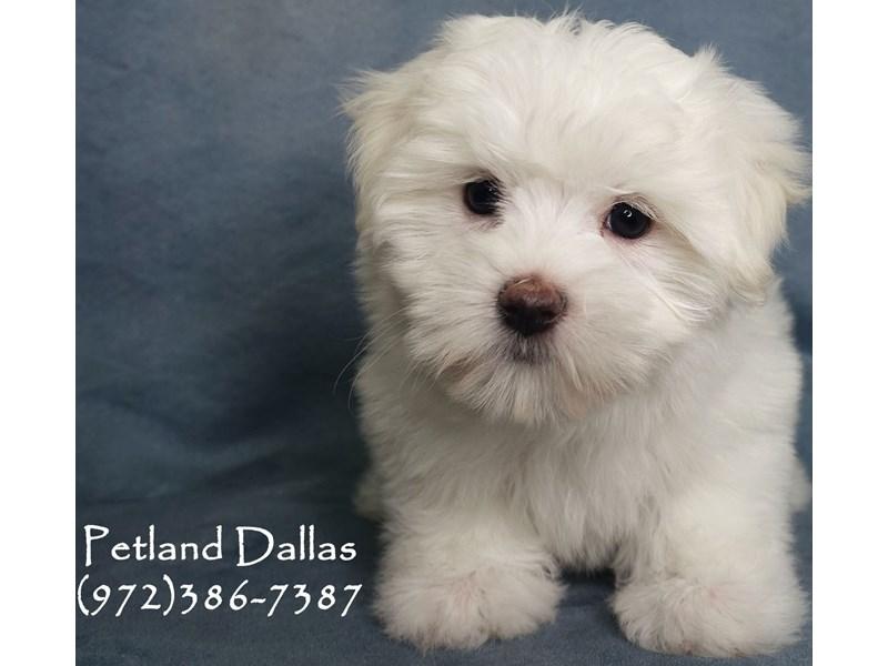 Maltese-Female-White-2990613-Petland Dallas, TX