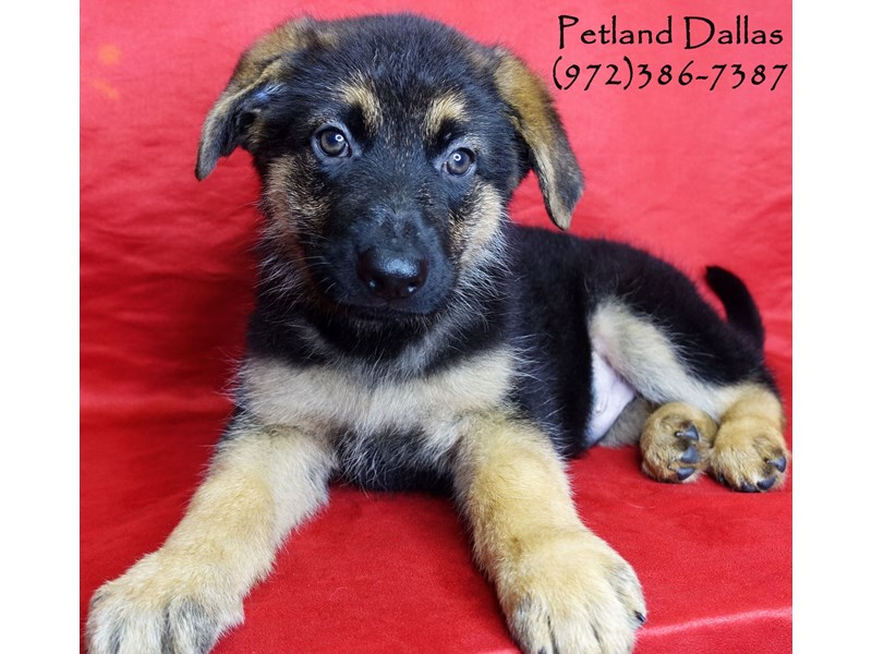 German Shepherd-Male-Black and Tan-2985964-Petland Dallas, TX