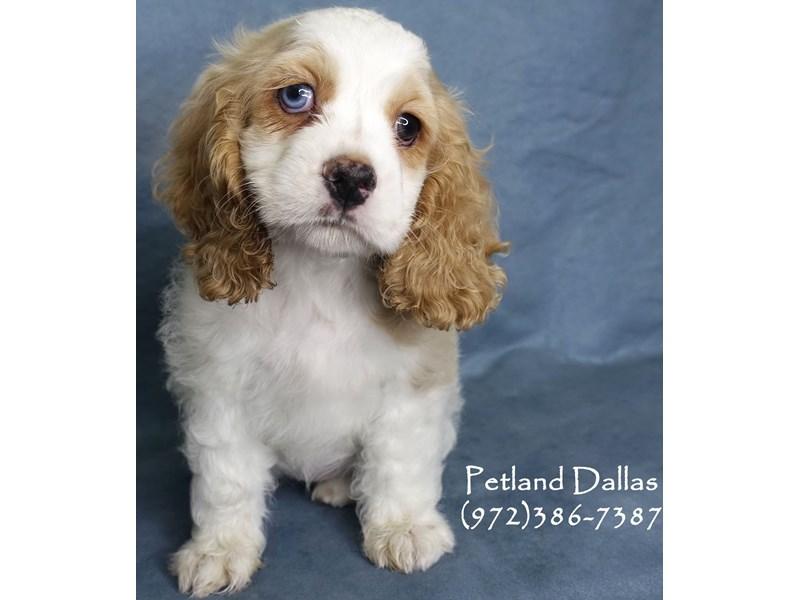 Cocker Spaniel-Female-Buff and White-2991025-Petland Dallas, TX
