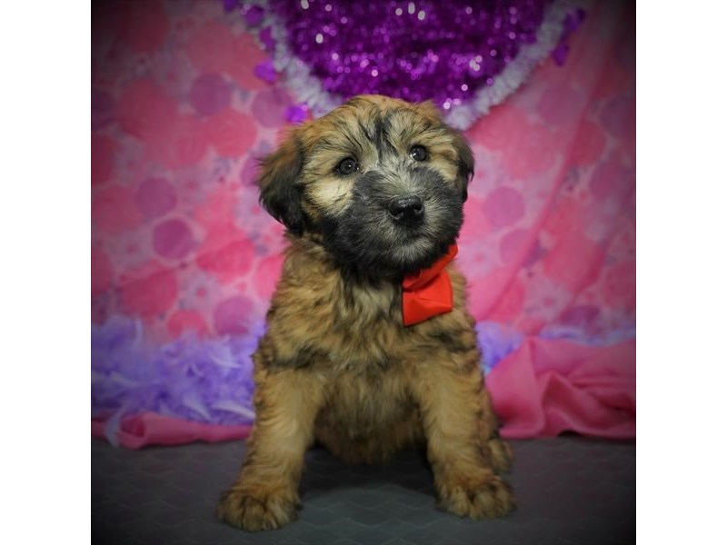 Soft Coated Wheaten Terrier-Female-Wheaten-2999013-Petland Dallas, TX