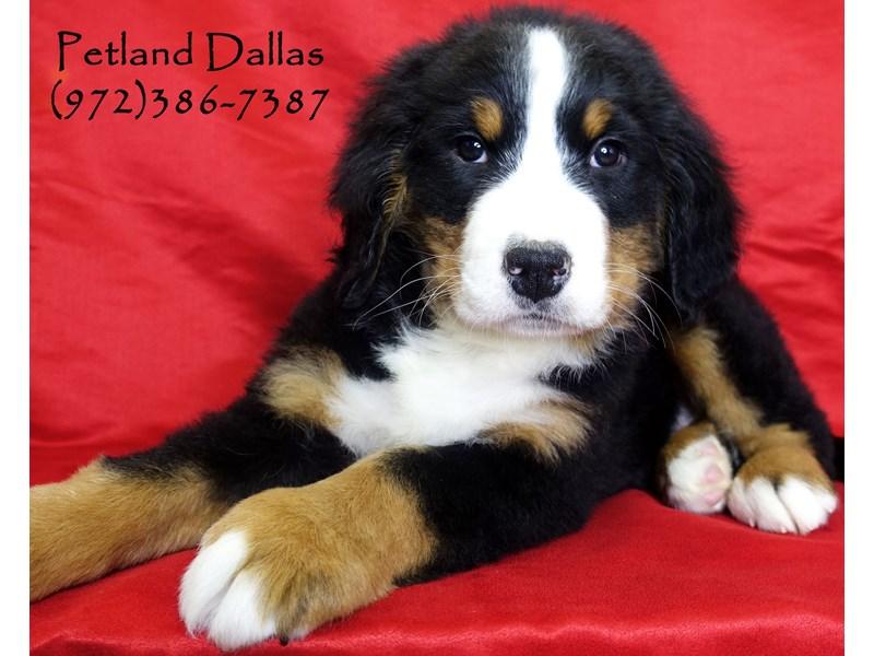Bernese Mountain Dog-Male-Black tri-2999144-Petland Dallas, TX