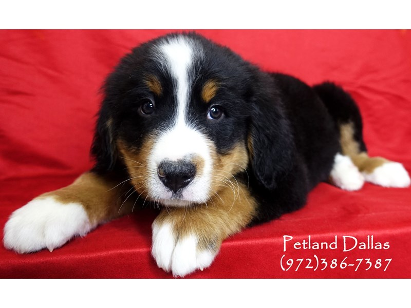 Bernese Mountain Dog-Male-Black tri-2999140-Petland Dallas, TX