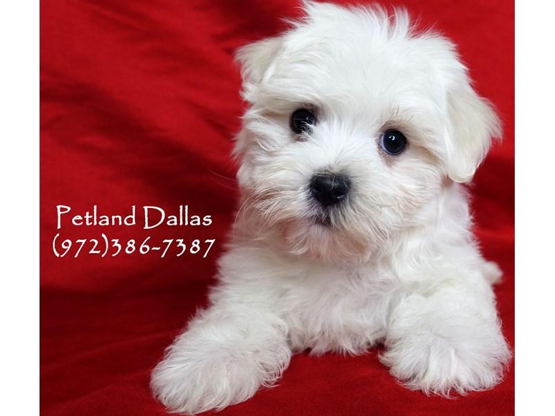 Maltese-Female-White-2999121-Petland Dallas, TX