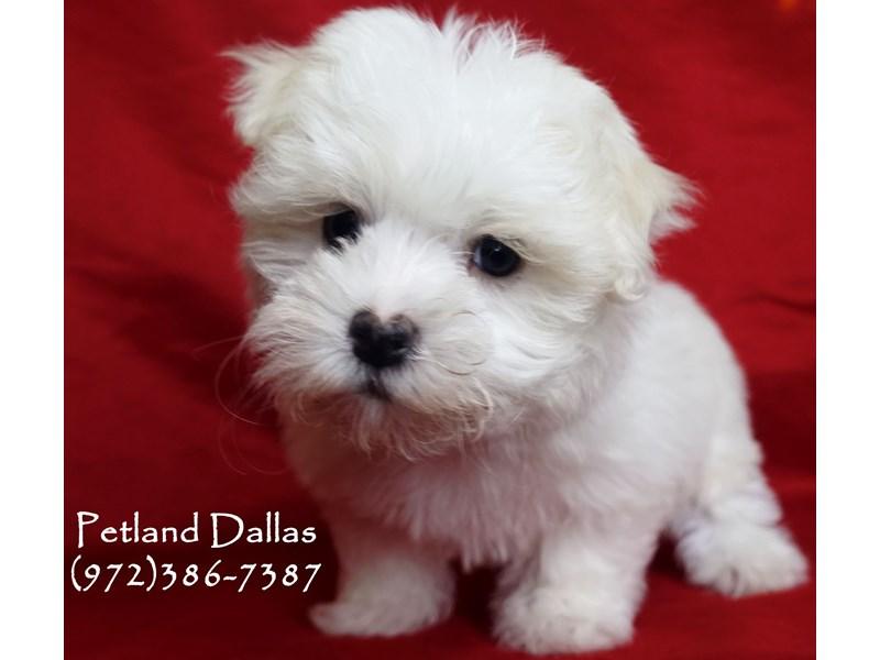 Maltese-Male-White-2999112-Petland Dallas, TX