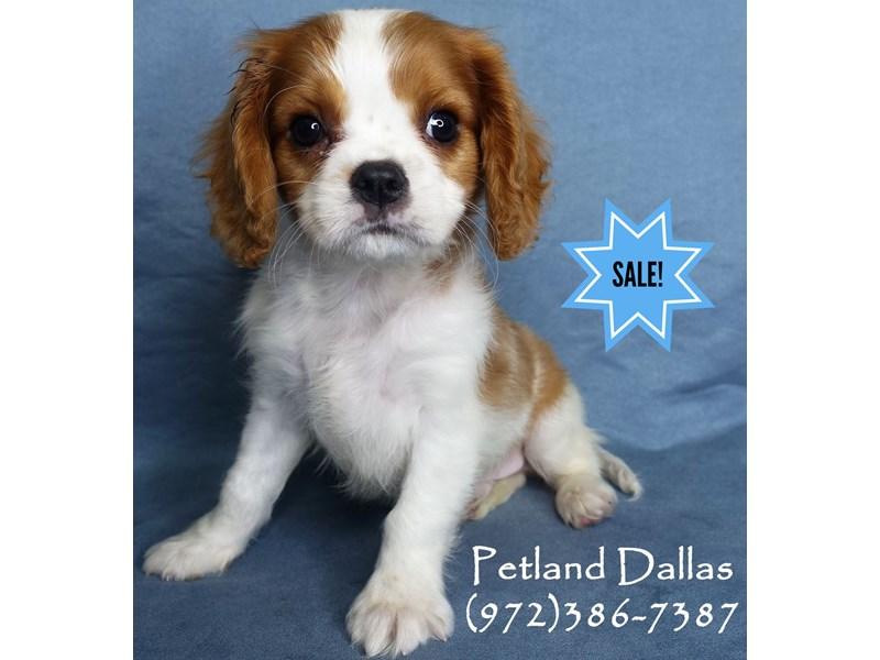 Cavalier King Charles Spaniel-Male-Blenheim-2956793-Petland Dallas, TX