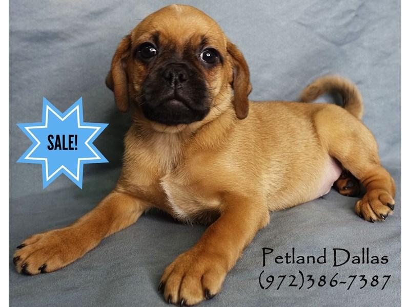 Puggle-Male-Fawn-2965460-Petland Dallas, TX