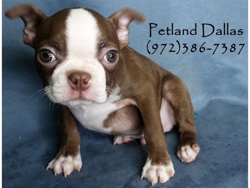 Boston Terrier-Male-Red & White-3016440-Petland Dallas, TX