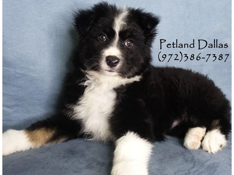 Australian Shepherd-Female-Black / White-3017649-Petland Dallas, TX