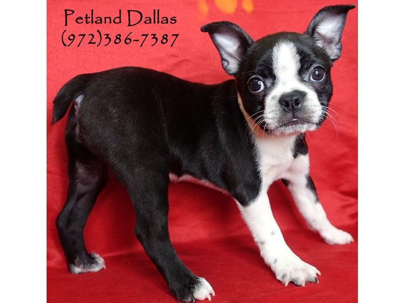 Boston Terrier-Female-Black / White-3017248-Petland Dallas, TX