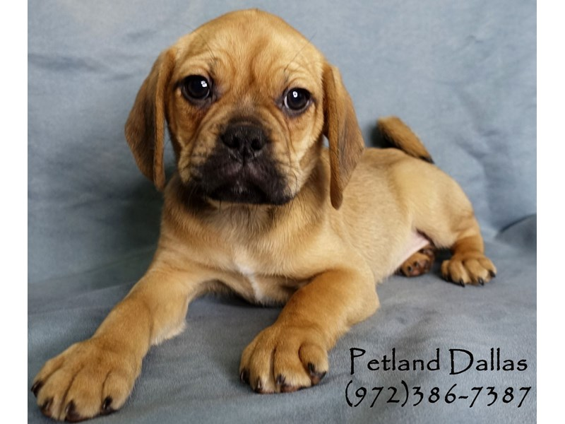 Puggle-Male-Fawn-2965461-Petland Dallas, TX