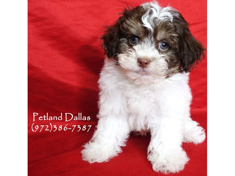 Maltipoo-Male-Chocolate and Tan Parti-2965311-Petland Dallas, TX