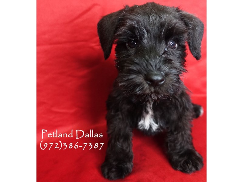 Miniature Schnauzer-Female-Black-2981981-Petland Dallas, TX