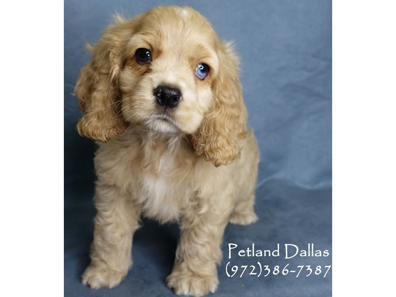 Cocker Spaniel-Male-Buff-2991001-Petland Dallas, TX