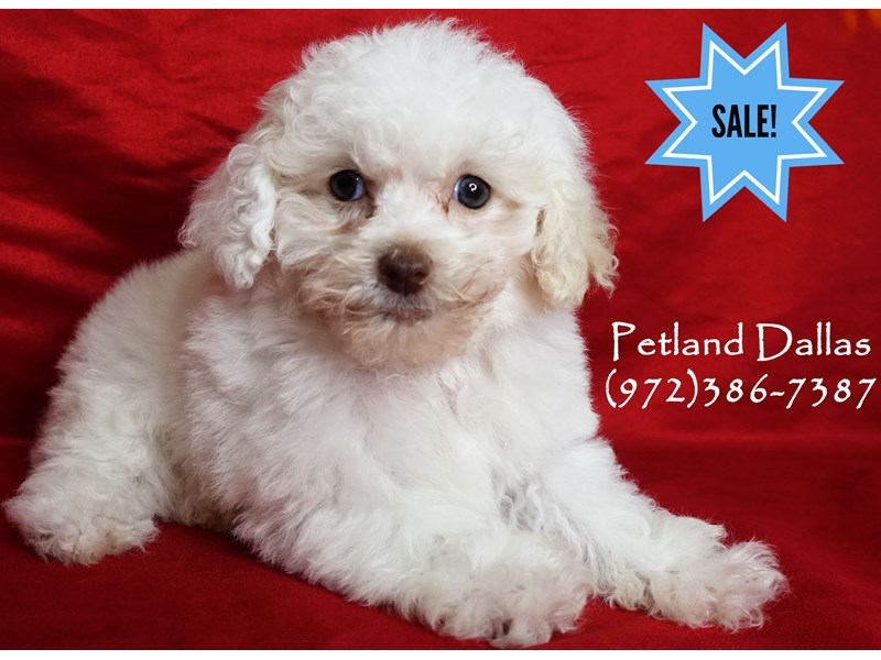 Maltipoo-Male-Cream and White Parti-2965313-Petland Dallas, TX