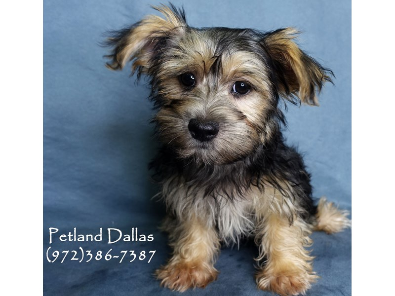 Yorkiepoo-DOG-Male-Black & Tan-3016441-Petland Dallas, TX
