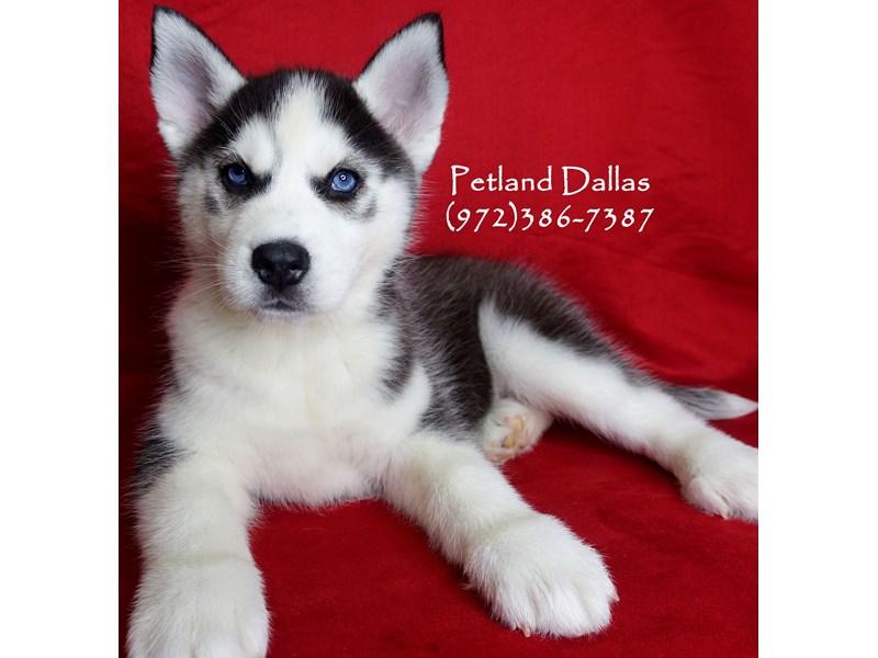 Siberian Husky-Female-Black Gray / White-3017193-Petland Dallas, TX