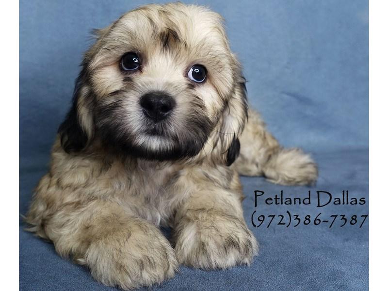 Teddy Bear-Male-Gold-3017342-Petland Dallas, TX