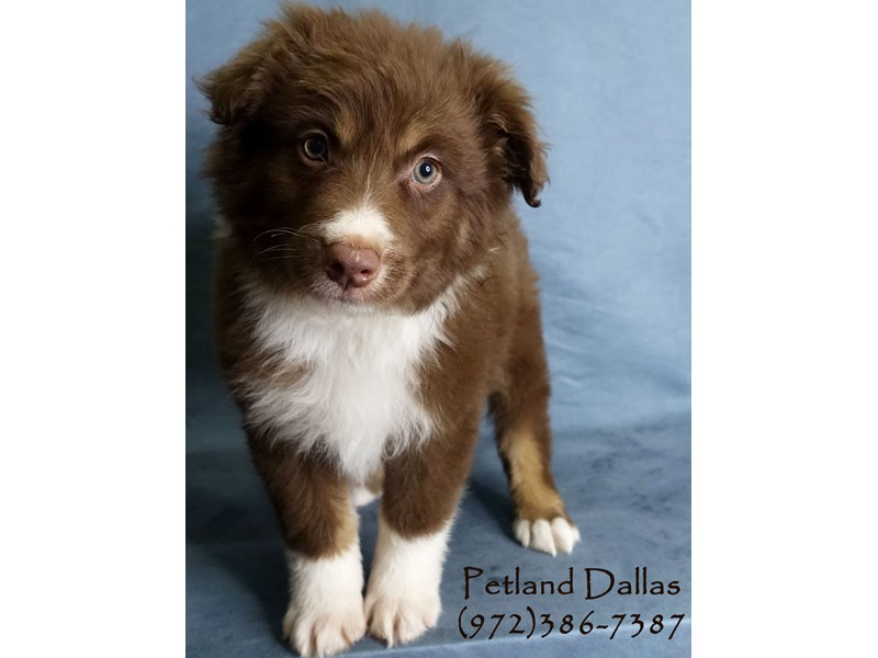 Australian Shepherd-Male-Red / White-3017652-Petland Dallas, TX