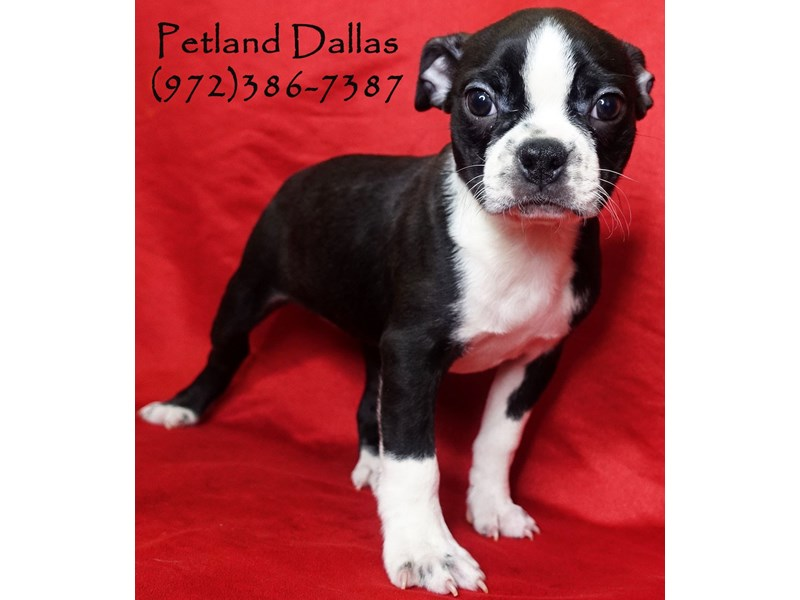 Boston Terrier-Female-Black / White-3017245-Petland Dallas, TX