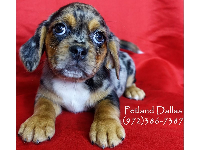 Puggle-Female-Blue Merle-3017242-Petland Dallas, TX
