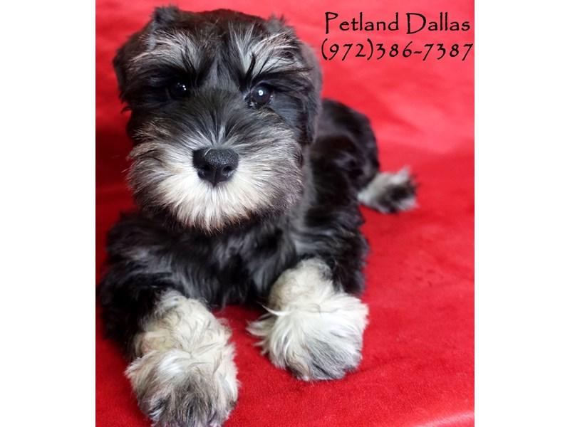 Miniature Schnauzer-Female-Black and Silver-3017411-Petland Dallas, TX