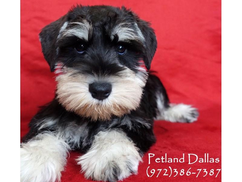 Miniature Schnauzer-Male-Black and Silver-3017406-Petland Dallas, TX