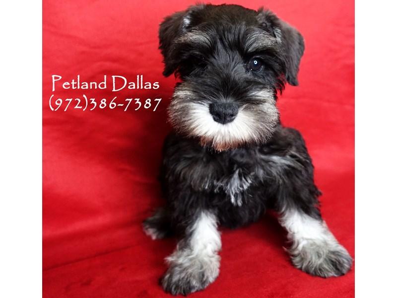 Miniature Schnauzer-DOG-Female-Black and Silver-3017364-Petland Dallas, TX